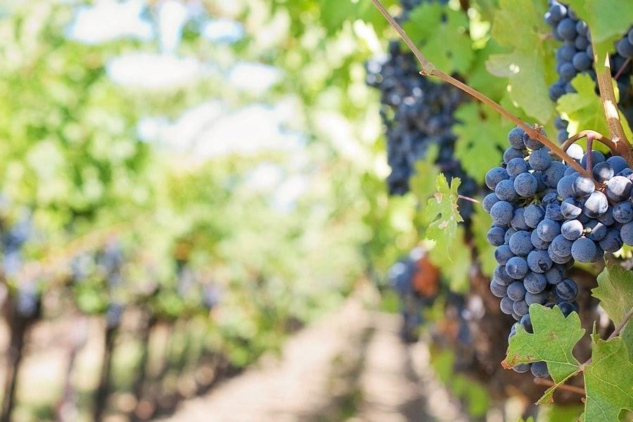 Viti viticole